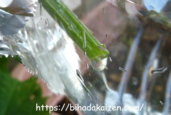 ヘチマの茎から出る水