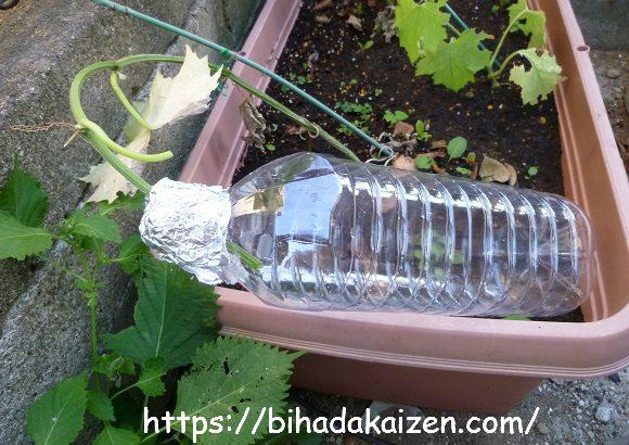 ヘチマ水を収穫